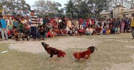 মোল্লাহাটের ঐতিহ্যবাহী মোরগ লড়াই