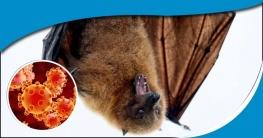ভারতে দুই প্রজাতির বাঁদুড়ের শরীরে করোনাভাইরাস শনাক্ত : গবেষণা