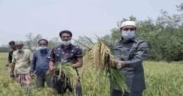 মোড়েলগঞ্জে বোরো ধান কাটা শুরু বাম্পার ফলনে কৃষকের মুখে হাঁসি