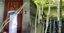 দেশে ১০ ফুট লম্বা চিচিঙ্গা চাষে সফলতা