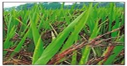 বিশ্বব্যাপী সমাদৃত 'কালো ধান' চাষ হচ্ছে দিনাজপুরে